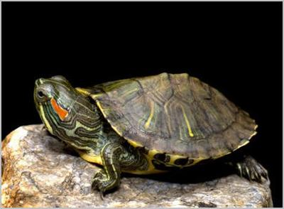 I found the picture on the interrnet. but its the same type of turtle as i have.