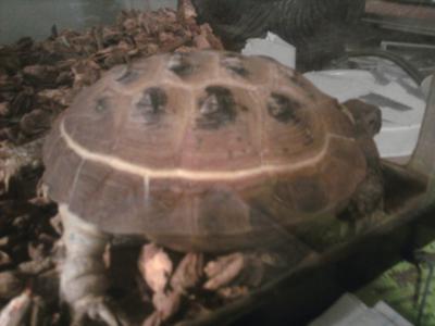 White Line on Tortoise Shell
